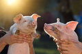 Piglets In Workers Hands Royalty Free Stock Photos - 61822108
