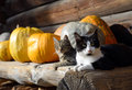 Cats And Pumpkins Royalty Free Stock Photo - 61855345