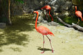 Pink Flamingo Walking In The Sand Along Waterfront Royalty Free Stock Photos - 61857308