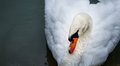 Mute Swan Cygnus Olor. Stock Photography - 61876652