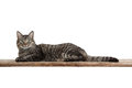 Cat Laying Down Stock Images - 61940774