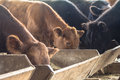 Cattle Stock Image - 61954221