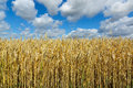 Yellow Wheat Against The Blue Sky Royalty Free Stock Photography - 61964087