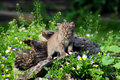 Beautiful Baby Bobcat Coming Out Of A Hollow Log. Royalty Free Stock Photo - 61966355
