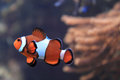 Nemo Fish (clown Fish) Stock Photos - 61981323