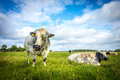 Belgian Blue Bull And Cow Stock Image - 61996761