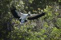 Wood Stork, Flying With Nesting Material In Its Bill, Florida. Stock Image - 62021741