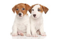 Jack Russell Terrier Puppies Stock Photos - 62039093