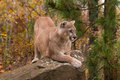 Adult Male Cougar (Puma Concolor) Crouches On Rock Royalty Free Stock Image - 62045176
