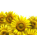 Yellow Sunflowers Royalty Free Stock Photography - 62054647