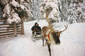 Winter Lapland Reindeer Sled Racing In Ruka In Finland Royalty Free Stock Photography - 62082497