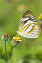 Butterfly On Yellow Flower Stock Images - 62094984