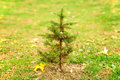 Small Pine Tree Alone In Field Stock Photography - 62112592