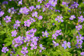 The Blossoming Geranium Forest (Geranium Sylvaticum L.) Stock Image - 62137171