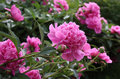 Peony Flowers. Close-up Royalty Free Stock Photography - 62153427