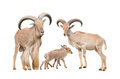 Barbary Sheep Family Royalty Free Stock Images - 62172829