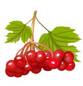 Red Viburnum Berries With Leaves. Vector Illustration Royalty Free Stock Photos - 62180548