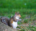 Male Gray Squirrel Stock Images - 6227844