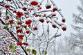 Red Berries Of Rowan And Several Last Green Leaves Snow Covered Royalty Free Stock Photography - 62230937