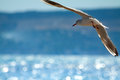 Flying Seagull Stock Images - 62296914