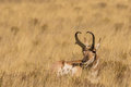 Bedded Pronghorn Buck Stock Images - 62315124