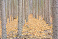 Autumn Forest Tree Farm In Oregon Stock Images - 62355364