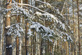 Branches Pine Covered With Snow In Winter Forest Stock Photo - 62380400