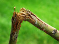 Broken Branch From Tree Snapped Over Stock Photography - 62413172