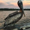 Pelican On Pier Royalty Free Stock Image - 62429656