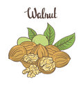 Walnuts Isolated On White Background. Royalty Free Stock Photos - 62430298
