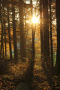 Beautiful Golden Sun In The Forest At Sundown Royalty Free Stock Photography - 62439237