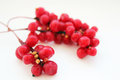 Branch Of Red Ripe Schisandra Isolated Stock Photo - 62462260
