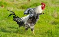 Rooster In Green Field Royalty Free Stock Photos - 62512458