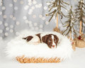 English Springer Spaniel Puppy Sitting On Fur By Christmas Decor Royalty Free Stock Images - 62514299