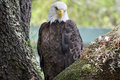 Bald Eagle Stock Photo - 62530120