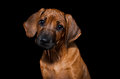 Rhodesian Ridgeback Stock Photo - 62555540