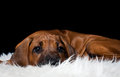 Rhodesian Ridgeback Stock Photos - 62555553