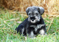 Miniature Schnauzer Black And Silver Puppy Dog Outdoors Portrait Stock Image - 62594431