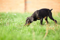 Doberman Pinscher Puppy Royalty Free Stock Images - 62594519