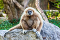 Northern White Cheeked Gibbon Royalty Free Stock Photography - 62595917