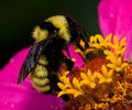 Bumble Bee Stock Photos - 6264173