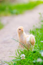 Chickens On A Grass Royalty Free Stock Photo - 62606735