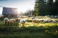 Flock Of Sheep Grazing Royalty Free Stock Photos - 62664728