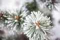 Coniferous Branches Covered With Hoarfrost Royalty Free Stock Image - 62668816