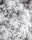 Coniferous Branches Covered With Hoarfrost Royalty Free Stock Photo - 62672585