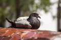 Pigeon Of Park Guell In Barcelona Stock Images - 62693334