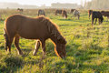 Icelandic Horses Grazing In Late Afternoon Sunlight Royalty Free Stock Photos - 62752558