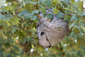 Active Hornet S Nest With Hornets Stock Photography - 6284772