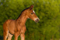 Red Newborn Colt Royalty Free Stock Photos - 62817738