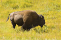 Single Bison, Standing With Plants In Its Mouth, Yellowstone, Wy Stock Photo - 62818850